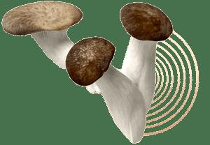 Black Pearl Mushrooms